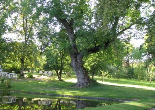 Gỗ tần bì là gì? Những đặc tính quan trọng của gỗ
